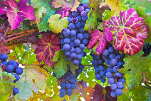 Grapes for October